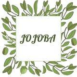 Template jojoba stock illustration