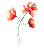 Template for original card with with red Poppies flowers. Watercolour illustration Royalty Free Stock Photography