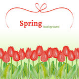 Template with spring flowers (tulips) with watercolor texture on a white background. Spring positive background with red tulips and red ribbon Royalty Free Stock Photography