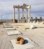The Temple of Apollo and sad dog. Near the columns Royalty Free Stock Photos