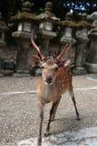 Temple de cerfs communs Photographie stock libre de droits