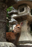 Temple deer Royalty Free Stock Photos