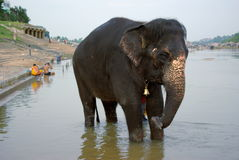 Temple elephant in the river refreshing Stock Photos