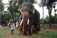 Temple elephants are escorted by their mahouts Royalty Free Stock Photo