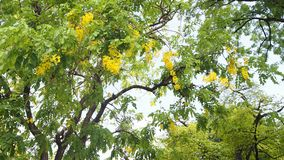 Yellow flower on big tree. In the temple that i went we saw this tree Royalty Free Stock Photos