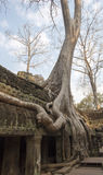Temple in jungle grown trees. In Cambodia Stock Photography