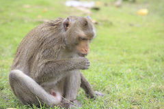 Temple Monkey Royalty Free Stock Photo