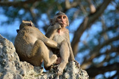 Temple monkey Royalty Free Stock Photography