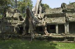Temple Ruin. Cotton tree on a Temple Ruin in Angkor Stock Photo