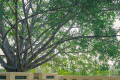 Temple`s big tree. Big tree in temple`s courtyard Royalty Free Stock Image