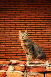 Temple's cat Stock Photography