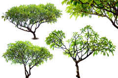 Temple tree isolated Stock Photography
