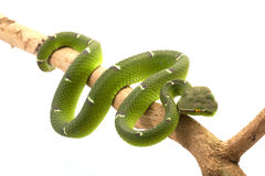 Temple viper. (Tropidolaemus wagleri) isolated on white background Stock Photography