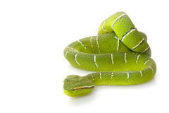 Temple viper Stock Image
