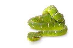 Temple viper. (Tropidolaemus wagleri) isolated on white background Stock Image