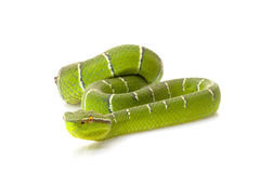 Temple viper. (Tropidolaemus wagleri) isolated on white background royalty free stock photos