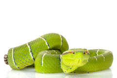 Temple viper Royalty Free Stock Photography