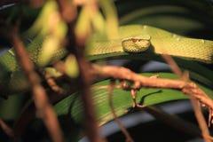 Temple viper Stock Image