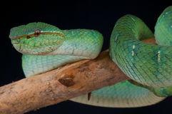 Temple viper female Stock Photo