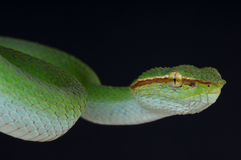 Temple viper male Royalty Free Stock Images