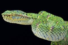 Temple viper (Tropidolaemus wagleri lowland) Royalty Free Stock Photos