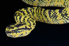 Temple viper / Tropidolaemus wagleri Stock Photography