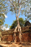 Temple wall with a giant banyan tree Royalty Free Stock Image