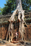Temple wall with a giant banyan tree Stock Images