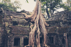 Temples of angkor wat, overgrown by tree, Stock Image