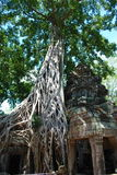 Temples Of Cambodia swaloed by a tree. Cambodia temples on a stunning bluebird day Royalty Free Stock Photography