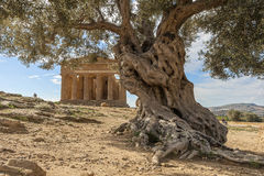 Temples valley - Sicily. Agrigento, Sicily - Temples valley A greek temple in Sicily with an olive tree in the foreground royalty free stock image