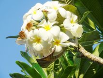 Templetree blanco Imágenes de archivo libres de regalías