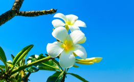 Templetree flower. Sky Stock Image