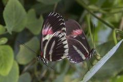 Tempo accoppiamento per 2 farfalle Immagine Stock Libera da Diritti