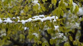 Tempo anormal Neve ao fim de abril Nas árvores, nas folhas e nas flores do verde filme