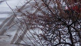 Tempo anormal A neve vai na árvore de florescência dos abricós em abril video estoque