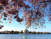 Tempo commemorativo di CC Cherry Blossom di Jefferosn Washington Monument Immagine Stock Libera da Diritti