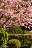 Tempo da flor de cereja Fotografia de Stock