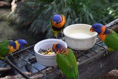 Tempo da refeição de Rosella Imagem de Stock Royalty Free