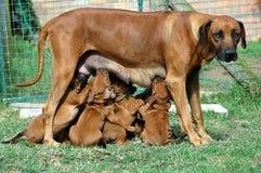 Tempo de alimentação do filhote de cachorro Fotos de Stock Royalty Free
