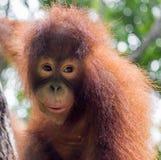 Tempo de alimentação #4 do orangotango Imagens de Stock
