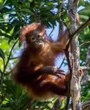 Tempo de alimentação #5 do orangotango Imagem de Stock