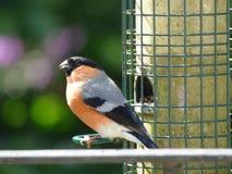 Tempo de alimentação do pássaro foto de stock royalty free
