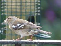 Tempo de alimentação do pássaro fotografia de stock royalty free