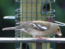 Tempo de alimentação do pássaro imagem de stock royalty free