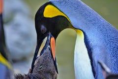 Tempo de alimentação do pinguim de rei Foto de Stock Royalty Free