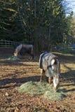 Tempo de alimentação dos cavalos Fotografia de Stock Royalty Free