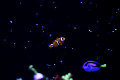 Tempo de alimentação no tanque marinho com Nemo real Fotos de Stock