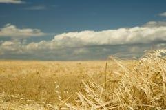 Tempo de colheita 1 do trigo Fotografia de Stock Royalty Free
