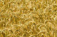 Tempo de colheita Imagens de Stock Royalty Free